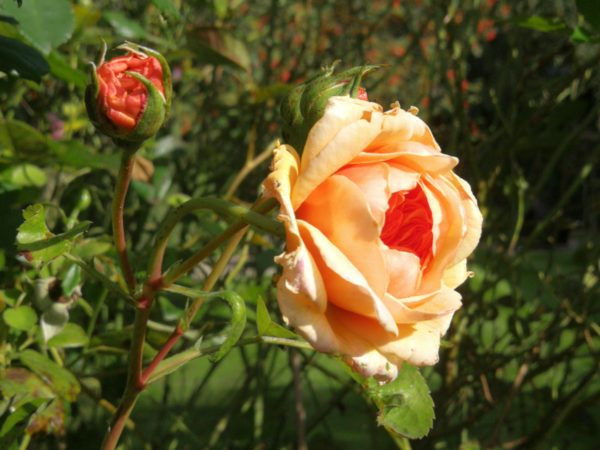 Autumn roses in Forge Cottage garden