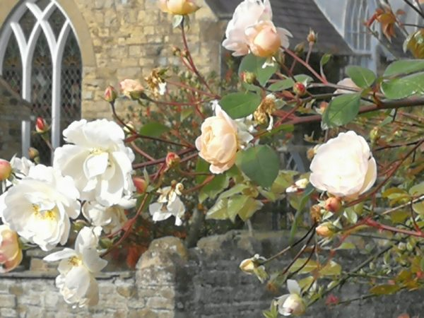 Roses at Coxwold Cottages