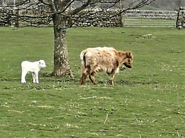 White calf in the Yorkshire Dales